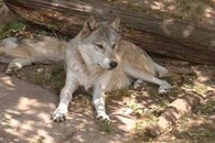 One of the residents at the Wolf Center